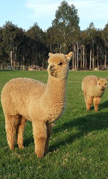 alpaca3