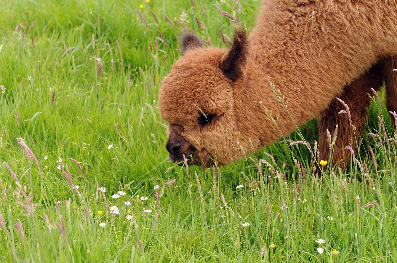 tuscan-sun-alpaca